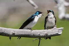 What's all the squawking about (ChicagoBob46) Tags: treeswallow swallow bird yellowstone yellowstonenationalpark nature wildlife coth5 ngc npc