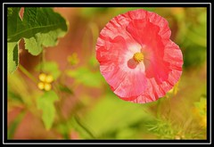 """Poppy Love..."" (NikonShutterBug1) Tags: macro closeup nikond7100 tokina100mm spe smartphotoeditor flower nature flora 100flowers2018 poppy"