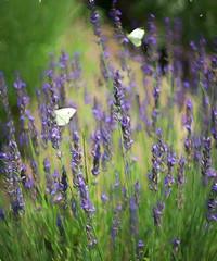 Garden Flowers (JMS2) Tags: summer butterflies garden flowers purple wild nature impression topaz