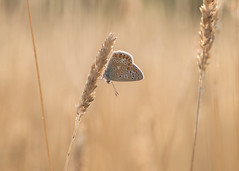 backlit blue (Emma Varley) Tags: butterfly commonblue grass sunshine evening summer backlit golden pretty dreamy chesworthfarm horsham