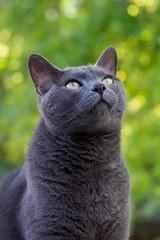 Blue with Green Bokeh (The Good Brat) Tags: colorado us blue cat feline pose green background bokeh