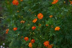 DSC04179 (@saka) Tags: autoupload flowers 69646981 leaves 1030 street 346