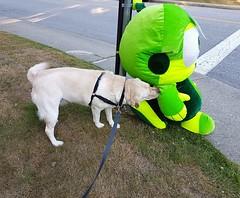 Gracie encountering the unexpected (walneylad) Tags: gracie dog canine pet puppy lab labrador labradorretriever cute july summer evening alien littlegreenmen martian green westlynn lynnvalley