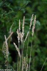 Dried grasses (Katy Wrathall) Tags: 2018 eastriding eastyorkshire england july summer garden