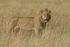 Male Lion - Panthera leo (rosebudl1959) Tags: 2018 kenya masaimara zebraplains lion male