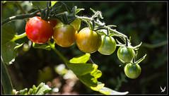 _MG_5574 (Celtycrow) Tags: potager vegetablegarden garden tomate tomatoes tomatecerise cherrytomato tomato macro macrophotography