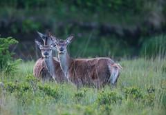 Red Deer 2018-0452 (seandarcy2) Tags: mammals deer red wild wildlife animals mull uk