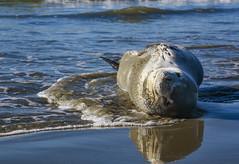 Resting Leopard Seal (M J Adamson) Tags: seal leopardseal mammals marinemammals nature wildlife carolinebay timaru southcanterbury nz newzealand beach