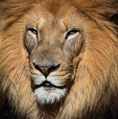 Lion (Chris Mahoney - AACStudio) Tags: nature stlouis tamron zoo animals lion lioness face