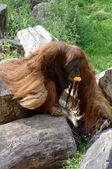 Orang Utan, eating (dididumm) Tags: orangutan pongo greatapes food eating futter futtern essen menschenaffen ifiranthezoo