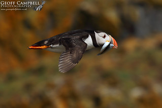 Atlantic Puffin (Fratercula arctica) in Flight