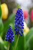 Community (James_D_Images) Tags: flowers community garden spring blooms muscari tulips blue green yellow pink bokeh leaves