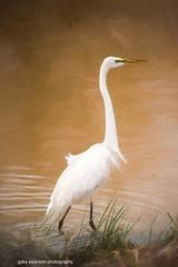 Egret (Gaby Swanson, Photographer) Tags: