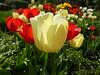 My tulip garden (Frans Schmit) Tags: tulip tulp mygarden wonderfulworldofflowers