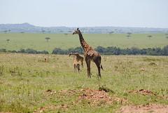 Масайский жираф, Giraffa camelopardalis tippelskirchi, Masai Giraffe (Oleg Nomad) Tags: масайскийжираф giraffacamelopardalistippelskirchi masaigiraffe африка кения масаимара сафари животные природа africa kenya masaimara safari nature animals travel