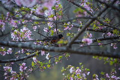 nature's composition (lvphotos!) Tags: springtime season tree flower bird colorful composition branches beautiful american robin nature outdoor morning bloom