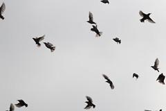 Starlings flying (-Lervåg-) Tags: flying bird starling sitting many fugler norway norge grimstad fevik stær mange