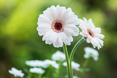 gerbera 4281 (junjiaoyama) Tags: japan flower plant gerbera white spring macro