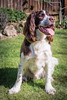 Harvey (Jez22) Tags: english springer spaniel pet cute dog animal canine happy adorable pedigree portrait breed copyright jeremysage england springerspaniel sitting liverandwhite color