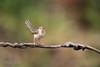 Plain prinia (Prinia inornata) 纯色山鹪鸟 chún sè shān jiāo niǎo (China (Jiangsu Taizhou)) Tags: nikon d5 800mm f56 vr afsnikkor800mmf56eflvr birds 2018 china birdsofchina forest park nature naturereserve mountainforest wildlife birding forestpark plainprinia priniainornata 纯色山鹪鸟 chúnsèshānjiāoniǎo ngc nationalgeographic birdwatching birdwatcher
