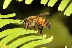 Hymenoptera sp. (Honey Bee) - Seychelles (Nick Dean1) Tags: hymenoptera bee animalia arthropoda arthropod hexapoda hexapod insect insecta mahe seychelles indianocean