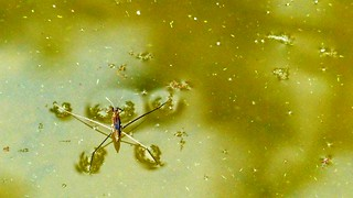 Waterloper Berlare
