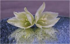 Regen kann soooo schön sein ................ (eulenbilder) Tags: spiegelung blüten fädigepalmlilie yucca