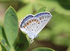 Karner Blue Butterfly (corey.raimond) Tags: wisconsin butterfly endangered federallyendangered insect blackriverstateforest plebejusmelissasamuelis plebejus melissa samuelis blue karnerblue karnerbluebutterfly bluebutterfly lycaenidae