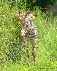 One of baby Grevy's Zebras (Harry Rother) Tags: zebra grevys endangered