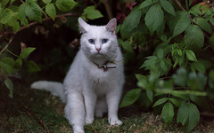 Bluebell (Ronan McCormick) Tags: ilobsterit canon ireland summer animals blueeyes cat deaf white