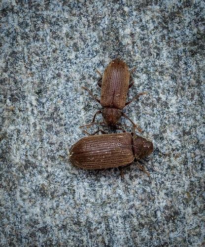 Common Furniture Beetle - Anobium punctatum