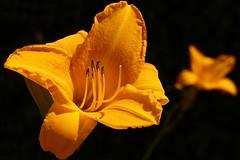 Lilium sunny views (siegfriedpotrykus) Tags: lilium flower plant