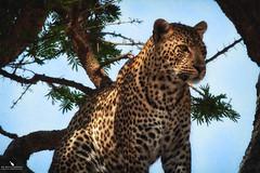 African Leopard On A Tree (pbmultimedia5) Tags: leopard animal feline big cat wildlife tree serengeti national park africa tanzania blue sky pbmultimedia