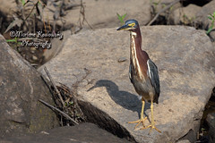 My New Best Friend (Maggggie) Tags: greenheron bird rock posing handsome nature lakepeachtree