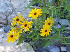 Chicago, Lincoln Park Zoo, Brown-Eyed Susan Flowers (Mary Warren 11.6+ Million Views) Tags: chicago lincolnparkzoo nature flora plants garden park rocks stones yellow blooms blossoms flowers browneyedsusan
