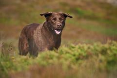 19-july-kotlugengi-patterson_157 (Stefán H. Kristinsson) Tags: dogs hundar hundur playing reykjanes july júlí 2018 nikond800 nikon70200f4 sunny summer