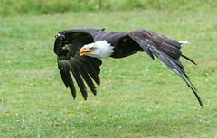 American Bald Eagle (Jez B) Tags: hawk conservancy andover bird birds prey eagle owl america bald flight bif