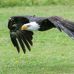 American Bald Eagle thumbnail