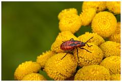 Fotowalk 22.07.18 Spider_48 (J.Wolfmaier) Tags: sonyalpha summer macro macrophotography flower