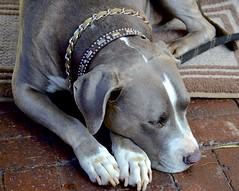 Settled In (hecticskeptic (off to Spain until mid-October soon) Tags: ventura pitbull california markamorgan cafenouveau