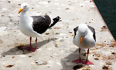 bert and ernie... (Stu Bo) Tags: seagull bird water bay fishermanswharf california sanfrancisco birdtalk sbimageworks vacation nature hangingoutwiththefamily happiness goodtimes canonwarrior idonthaveanybreadsostopasking