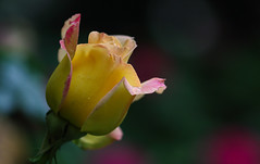 Unfolding Peace (AnyMotion) Tags: rosa rose gloriadei peace garden garten blossom blüte opening petals blütenblätter 2018 floral flowers frankfurt plants anymotion nature natur colours farben yellow gelb pink 7d2 canoneos7dmarkii