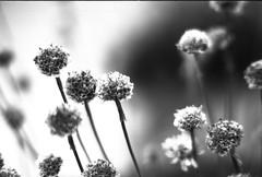 (von8itchfisk) Tags: washi film 35mm analog filmisnotdead ishootfilm olympus om10 selfdeveloped flower flowerporn flowercandy nature outside outdoor blackandwhite monochrome highcontrast vonbitchfisk