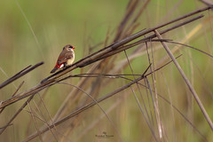 Red Avadavat (Showkat.Shuvro-ইচ্ছে ঘুড়ি) Tags: showkatshuvro wildlifephotography asia bird wildlifeplanet nature bangladesh wildbirds explorebangladesh ngc bestbirdshots yourbestbird discoverwildlife wings kingsbirds pocketbirds wildlifefriend nutsaboutbirds birdsabroad birdsbrilliance featherperfection birdsnature dslrofficial maestroi eyespybirds colorfulworldpictures brqt 121clicks 500px flickr exclusivewildlife perfectbirds naturegeograpgy bbcearth