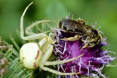 _DSC0567 (Me now0) Tags: summer nikond5300 micronikkor40mm macro closeup park europe юженпарк софиябългарияевропа лято близъкплан макро spider паяк