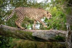 Table For One (helenehoffman) Tags: africa cheetah acinonyxjubatus bigcat feline conservationstatusvulnerable felidae sandiegozoosafaripark nature sandiegozoo cheetahbreedingcenter safaripark carnivore mammal animal wildlife
