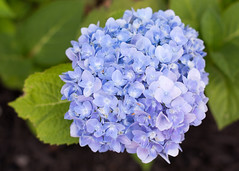 Hydrangea 7-3-2018 (Sam Made NYC) Tags: hydrangea garden flower flora