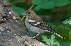 Chaffinch (juvenule) - Taken at Barnwell CP, Nr. Oundle, Northants. UK (Ian J Hicks) Tags: