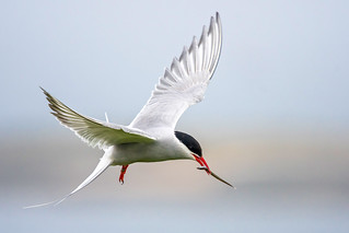 Arctic Tern........