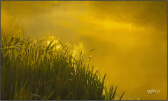 High Humidity.. (Picture post.) Tags: landscape nature green mist summertime water reflections reeds dew paysage brume eau sunrise